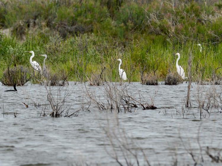 In pics: wild birds at Ulunggur Lake National Wetland Park in Xinjiang