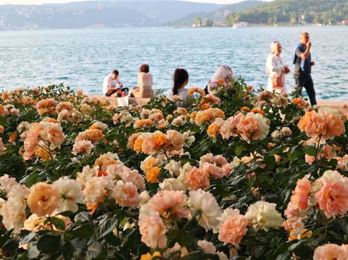 China roses in full bloom in Istanbul