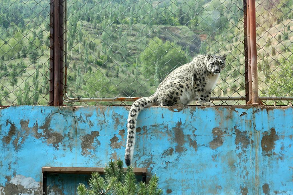 China's first artificially bred snow leopard reaches adulthood