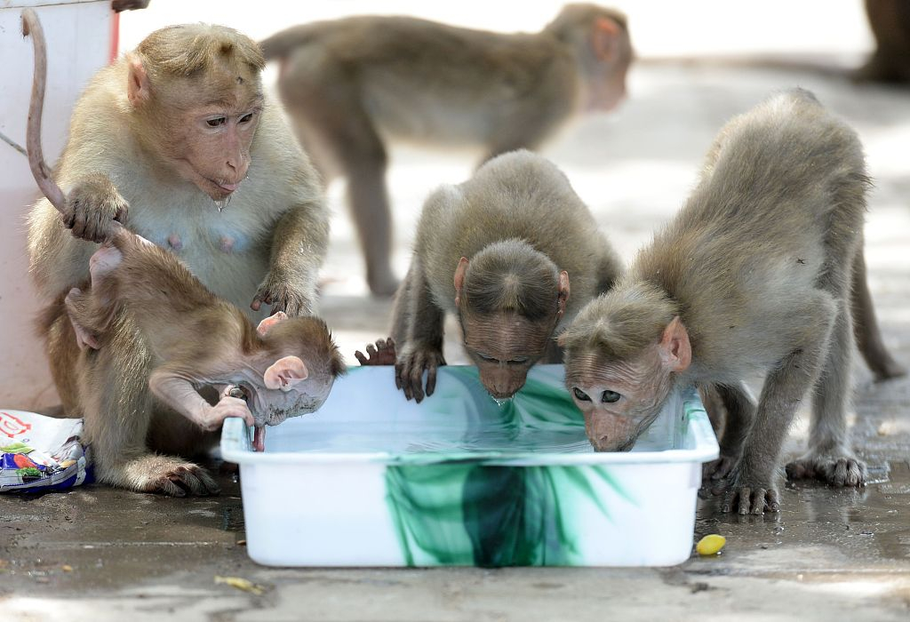 Monkey solutions to India's heat wave