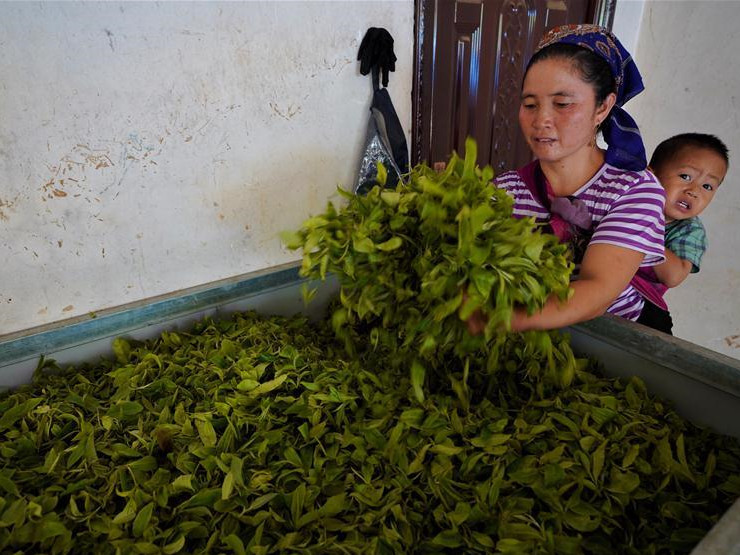 Tea industry helps boost farmers' income in China's Yunnan