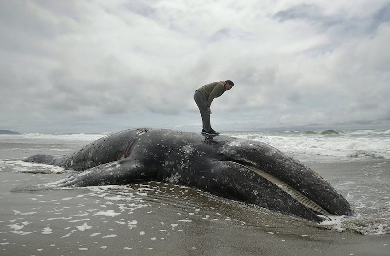 US agency runs out of burial space after spike in gray whale deaths