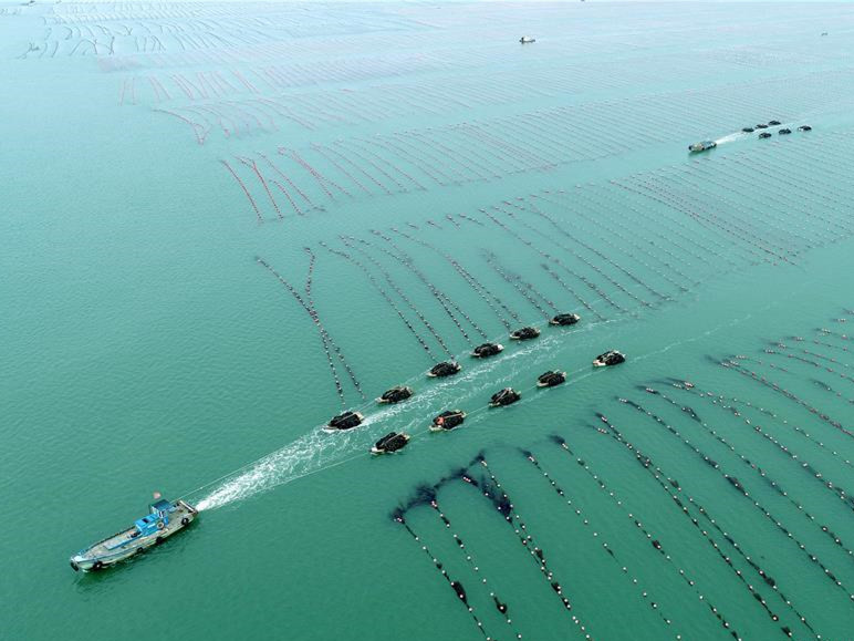 Fishermen harvest kelp in Rongcheng City, E China's Shandong