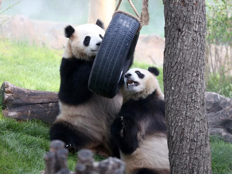First panda house opens in China's plateau city