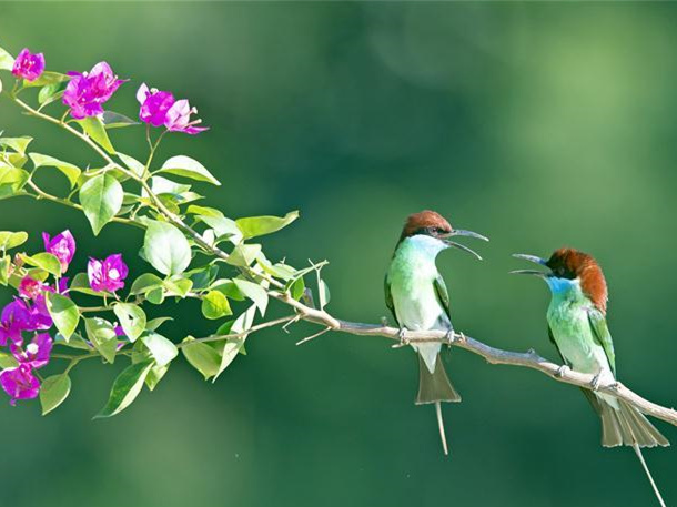 Blue-throated bee eaters seen in Nanping City, SE China's Fujian