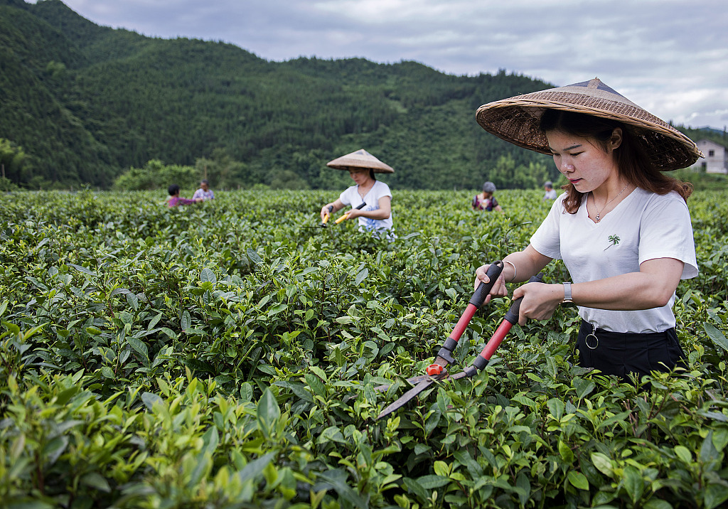 Graduate returns to hometown to cultivate tea business