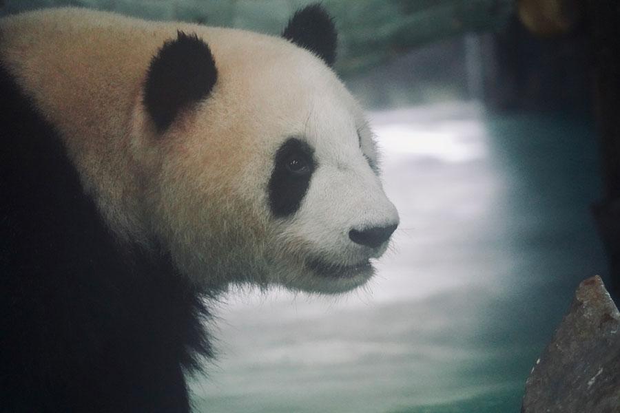 Panda siblings arrive safely in new home