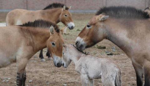 21 rare wild horses born in China's Xinjiang