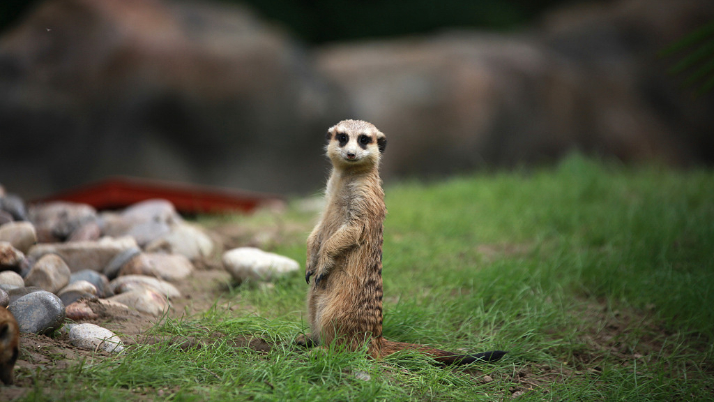 Meerkat 'mob' makes debut in E China zoo