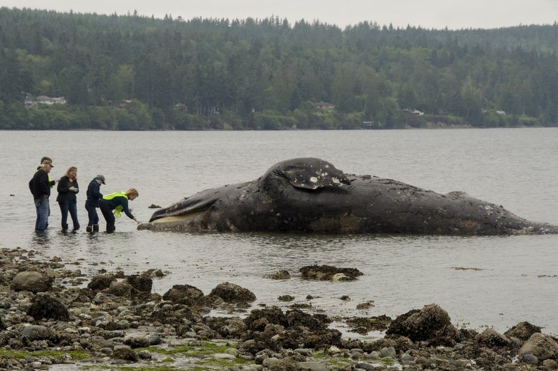 Scientists seek beaches where dead whales can rot in peace