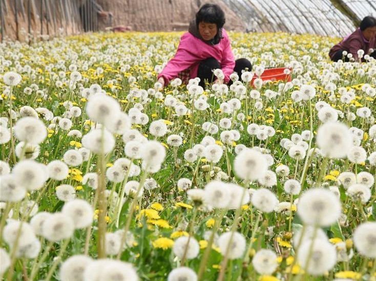 Cixian County in China's Hebei develops dandelion planting to boost local economy