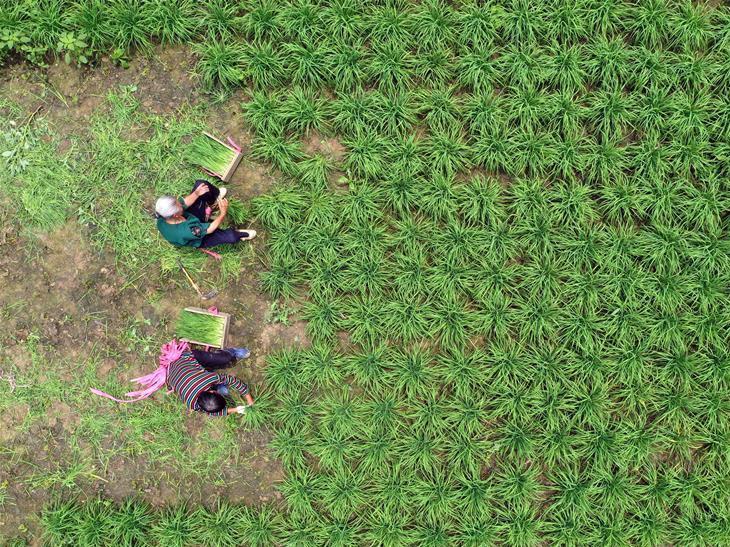 In pics: summer harvest in southwest China's Guizhou