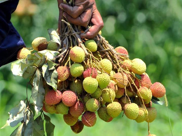 Kashmiri farmers harvest litchi at garden in Jammu