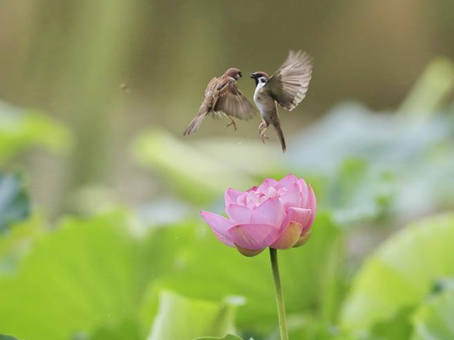 Sparrows seen over lotus flower at Zizhuyuan Park in Beijing