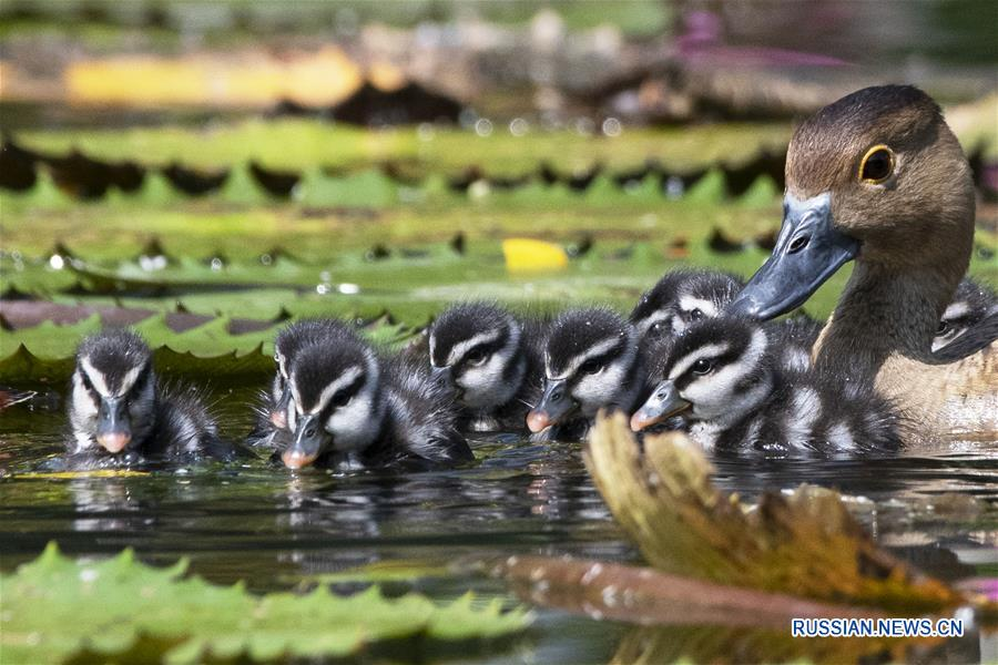 Newborn wild whistling ducklings seen in Singapore