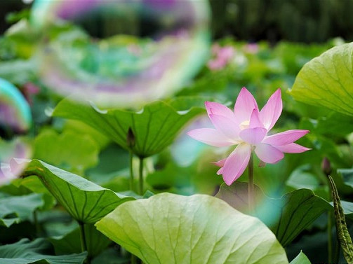 In pics: blooming lotus flowers at Daguan Park in China's Yunnan