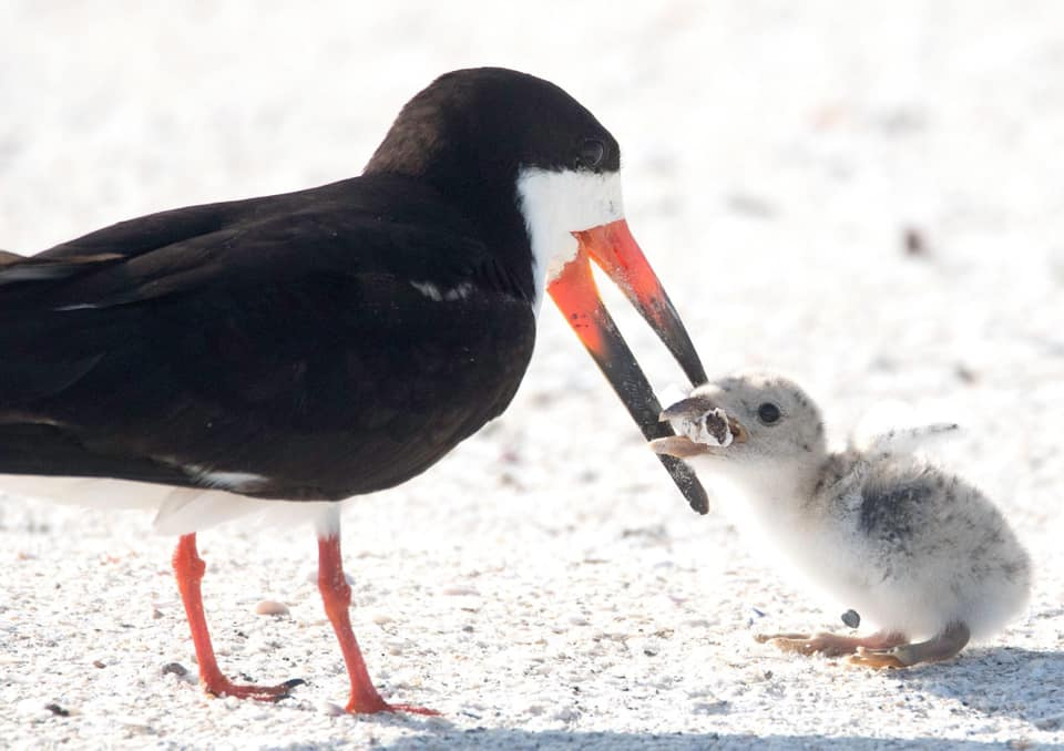 Photographer captures photo of mother bird feeding her chick with cigarette butt