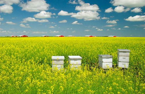 Canadian canola loses China market as bilateral relationship weighs on grain trade