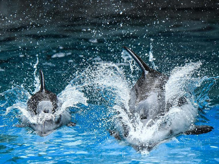Three pacific white-sided dolphin cubs meet public in Zhuhai