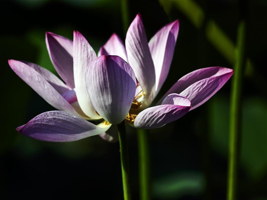 Lotus at park in Hebei