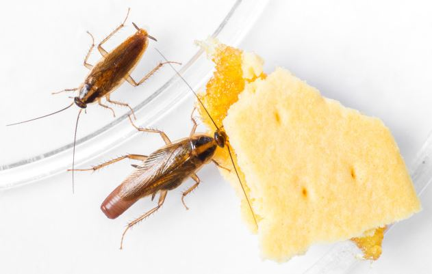 Cockroach nearly unstoppable using insecticide, say researchers