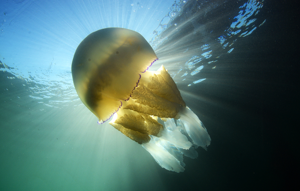 Chinese researchers develop remedy for jellyfish stings