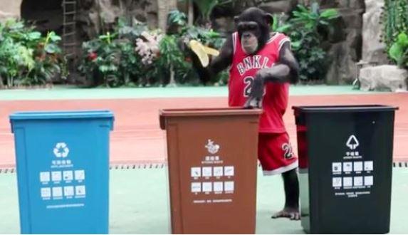 Chimpanzee learns Shanghai's garbage sorting rules