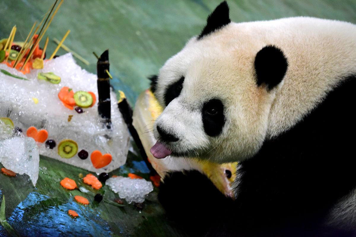 Giant panda 'Yuanzai' celebrates 6th birthday in China's Taiwan
