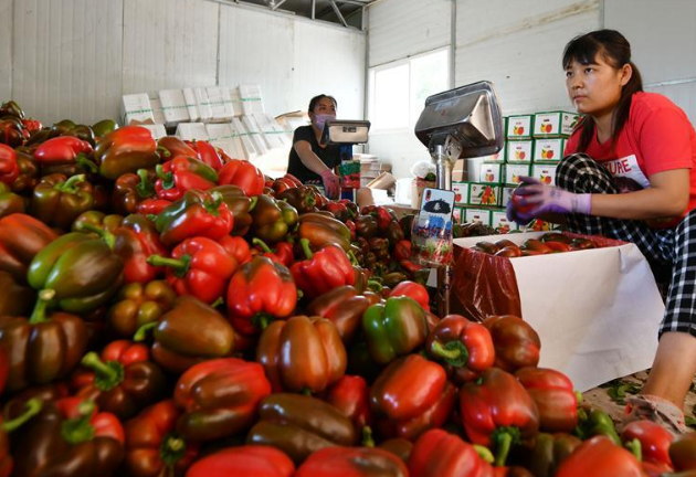 Village cooperative in China exports high-quality vegetables to Russian cities