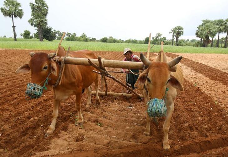 Farmers work in sesame fields in Myanmar