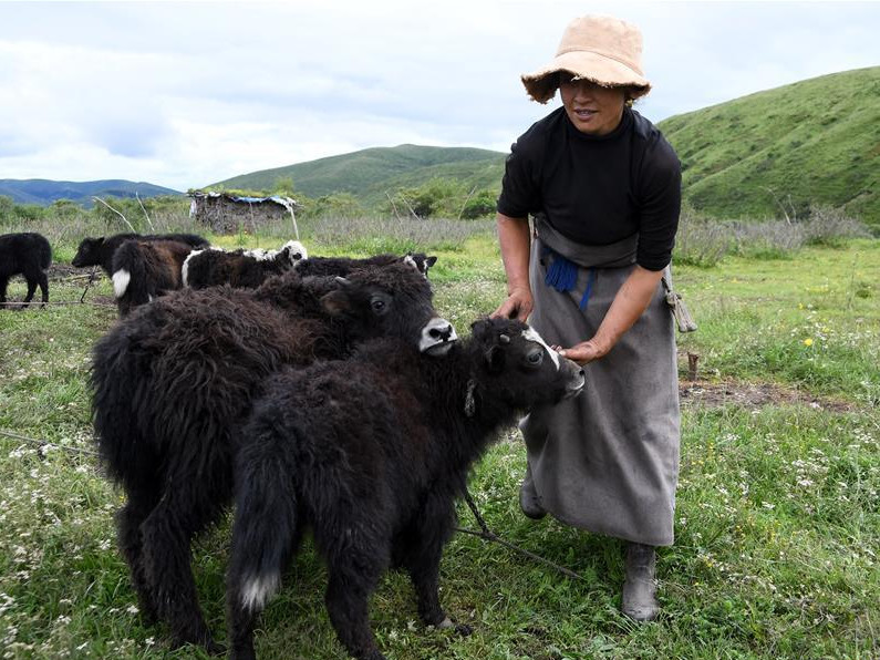 People in SW China upgrade yak milk production to get out of poverty